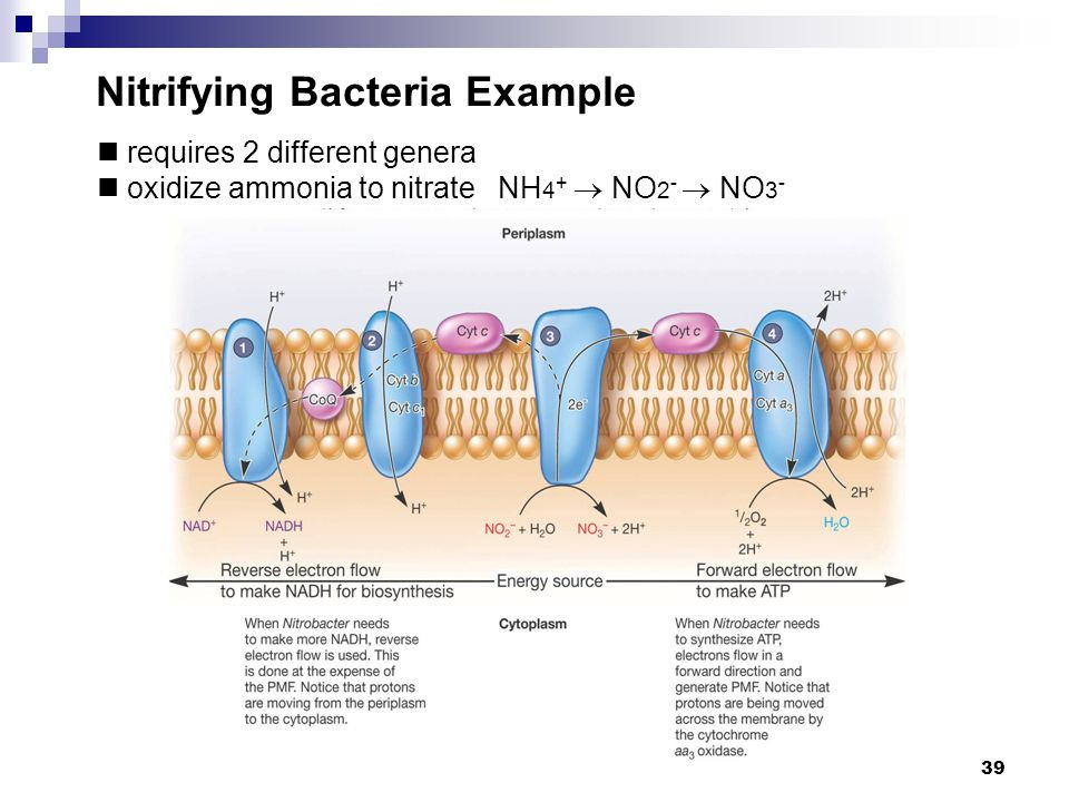 Nitrifying Bacteria Example