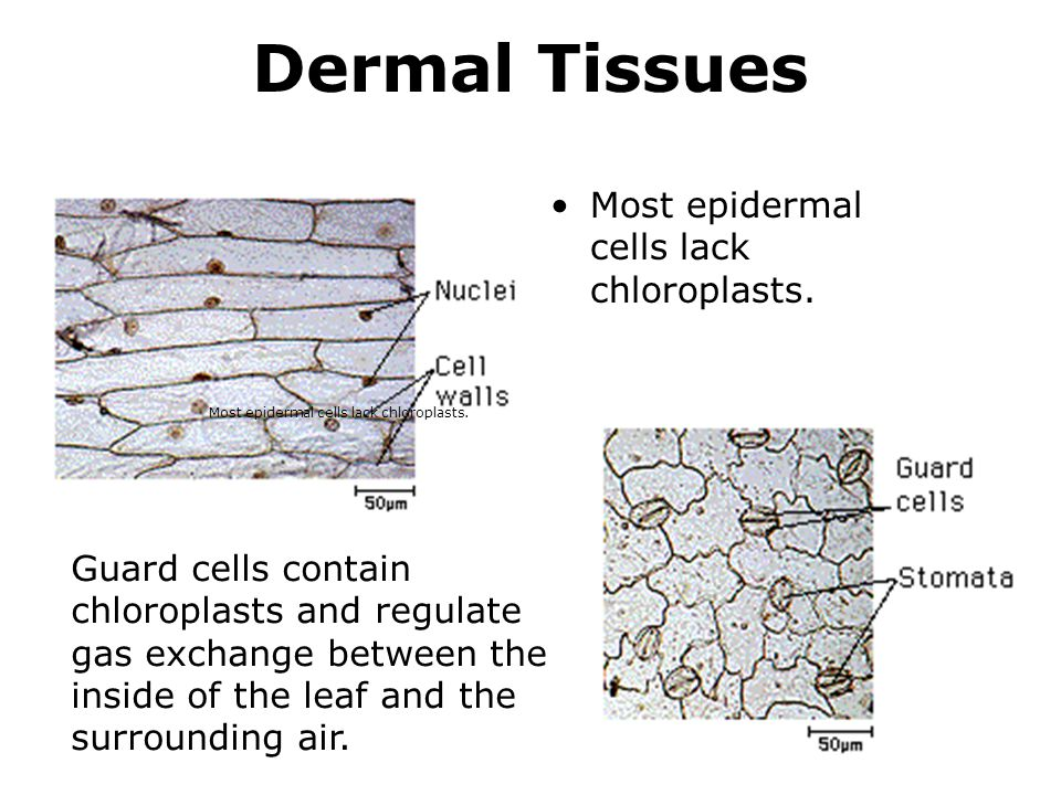 Dermal Tissues Most epidermal cells lack chloroplasts.