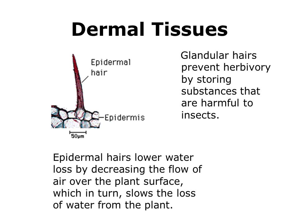 Dermal Tissues Glandular hairs prevent herbivory by storing substances that are harmful to insects.