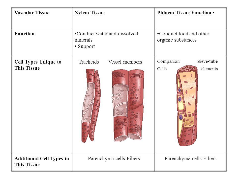Parenchyma cells Fibers