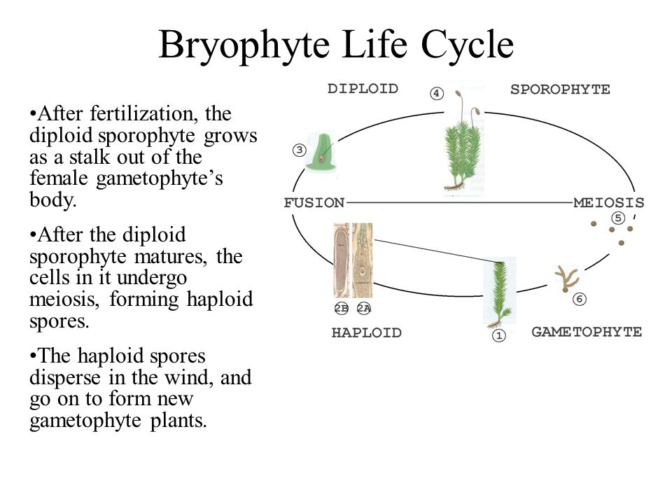Bryophyte Life Cycle After fertilization, the diploid sporophyte grows as a stalk out of the female gametophyte's body.