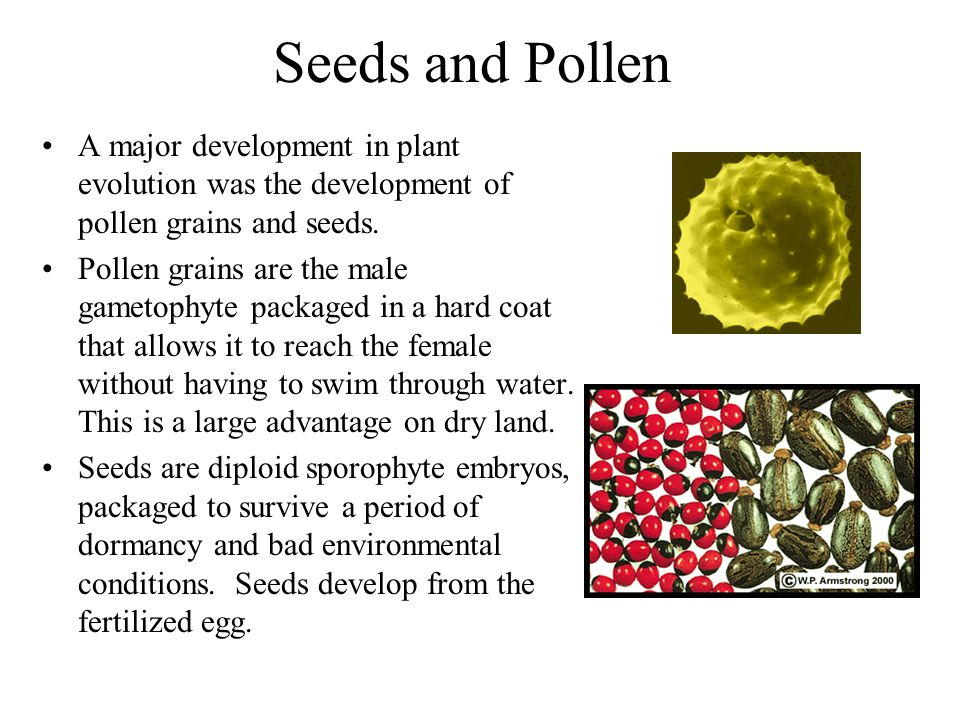 Seeds and Pollen A major development in plant evolution was the development of pollen grains and seeds.