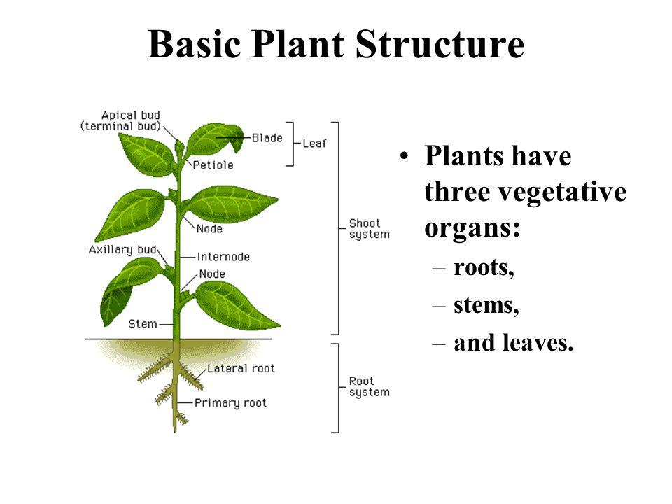 Basic Plant Structure Plants have three vegetative organs: roots,