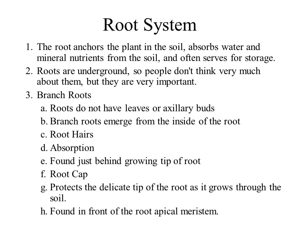 Root System The root anchors the plant in the soil, absorbs water and mineral nutrients from the soil, and often serves for storage.
