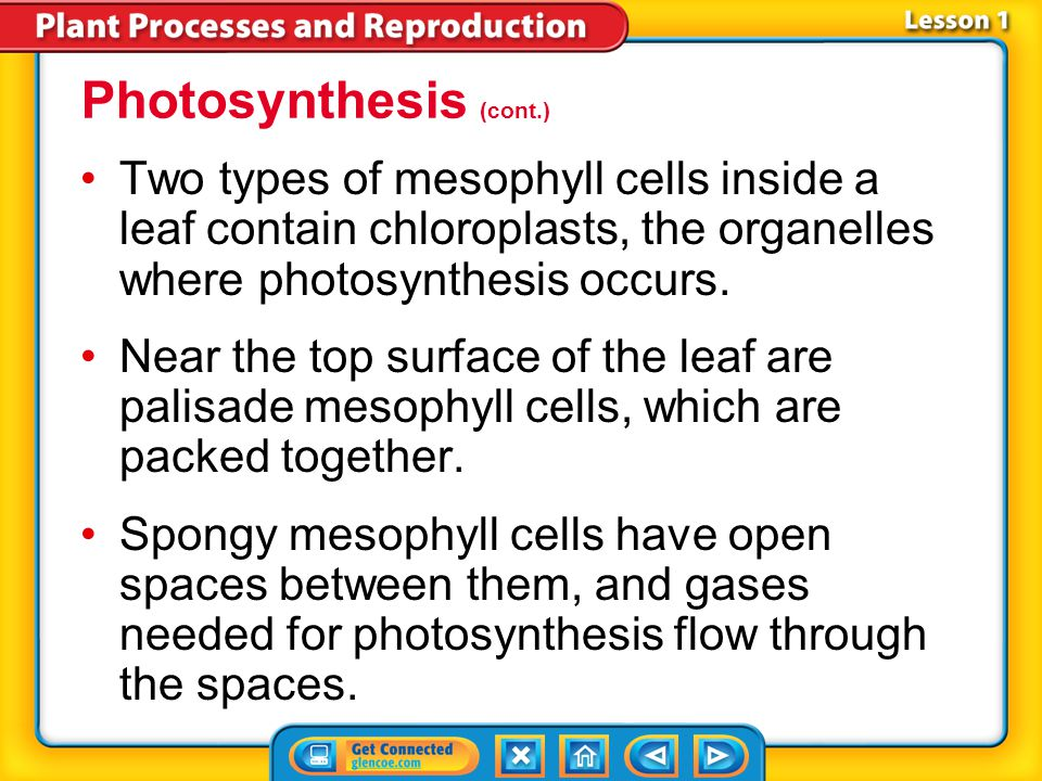 Photosynthesis (cont.)