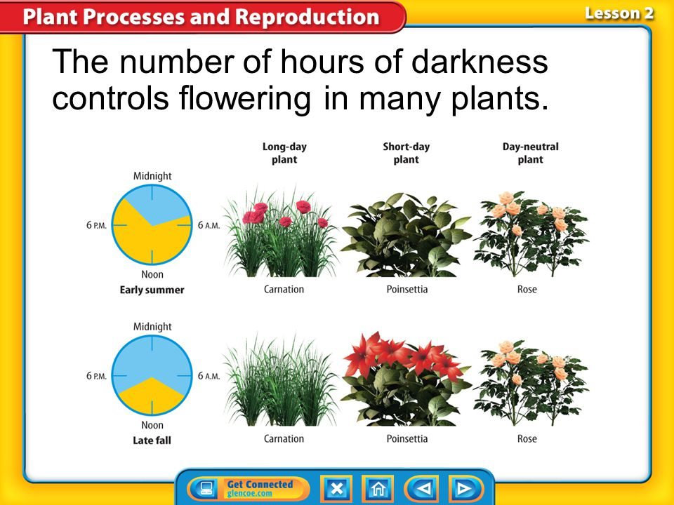 The number of hours of darkness controls flowering in many plants.