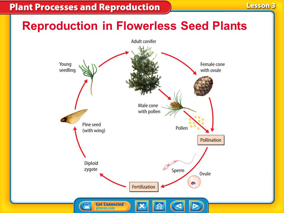 Reproduction in Flowerless Seed Plants