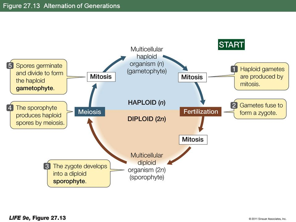 Figure 27.13 Alternation of Generations