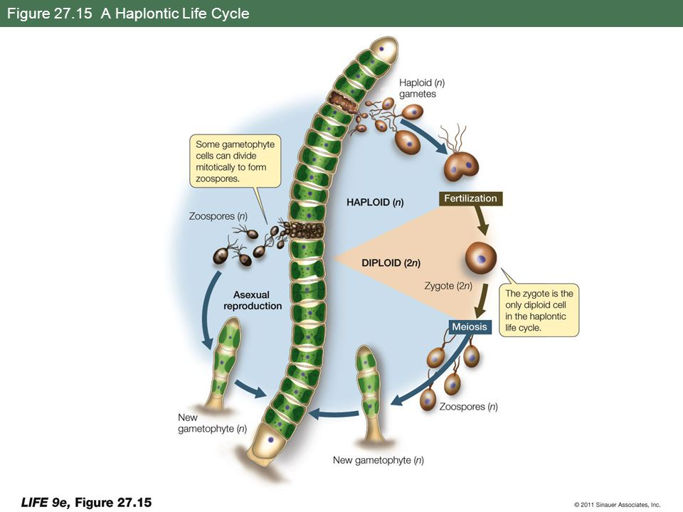 Figure 27.15 A Haplontic Life Cycle