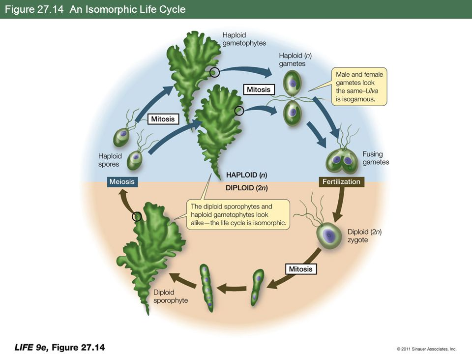 Figure 27.14 An Isomorphic Life Cycle