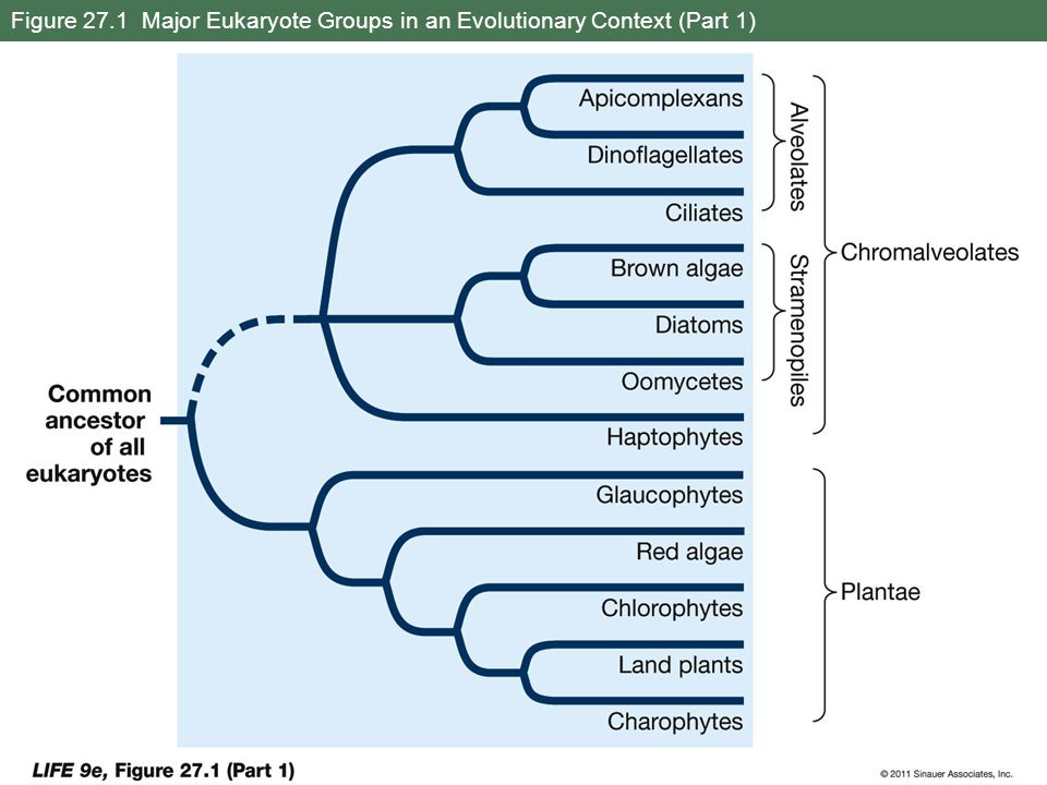 Figure 27.1 Major Eukaryote Groups in an Evolutionary Context (Part 1)