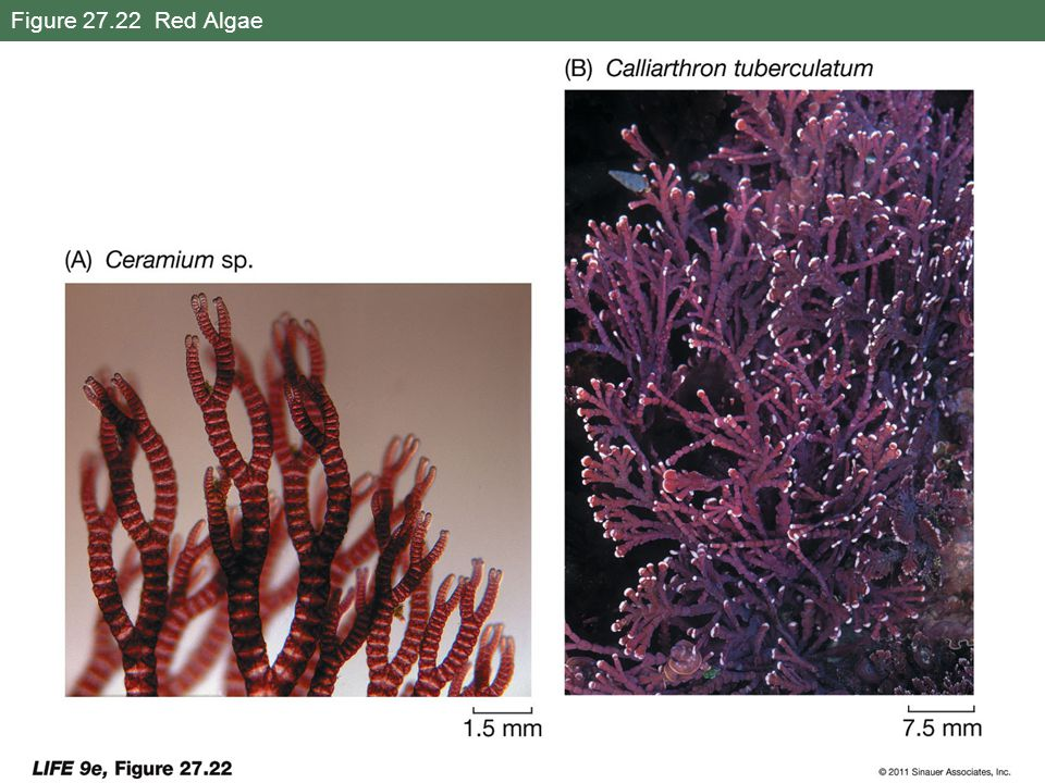 Figure 27.22 Red Algae