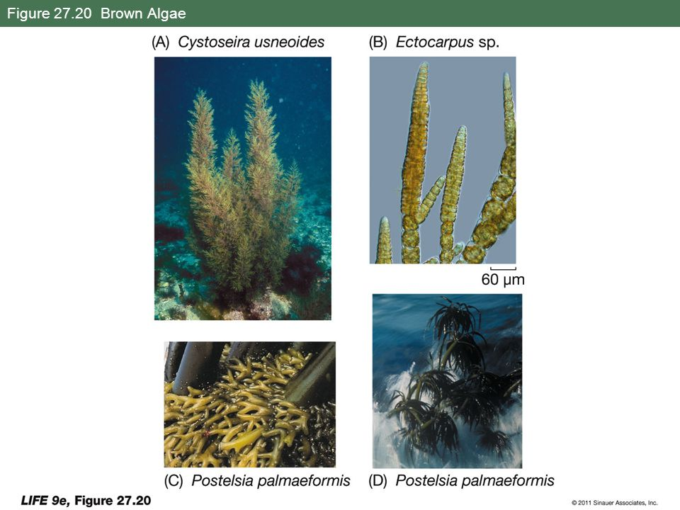 Figure 27.20 Brown Algae
