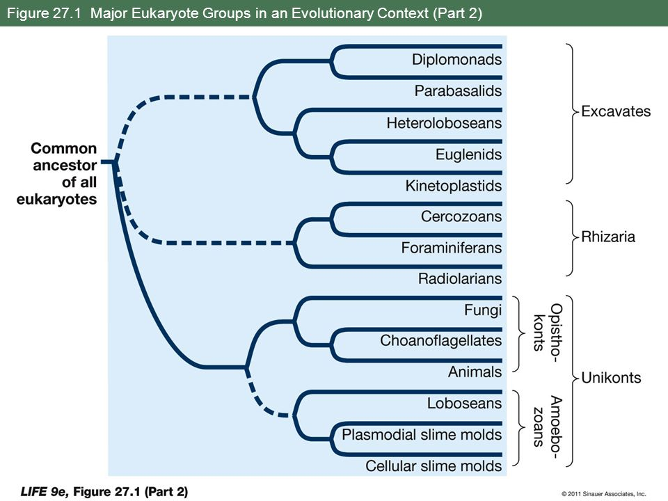 Figure 27.1 Major Eukaryote Groups in an Evolutionary Context (Part 2)