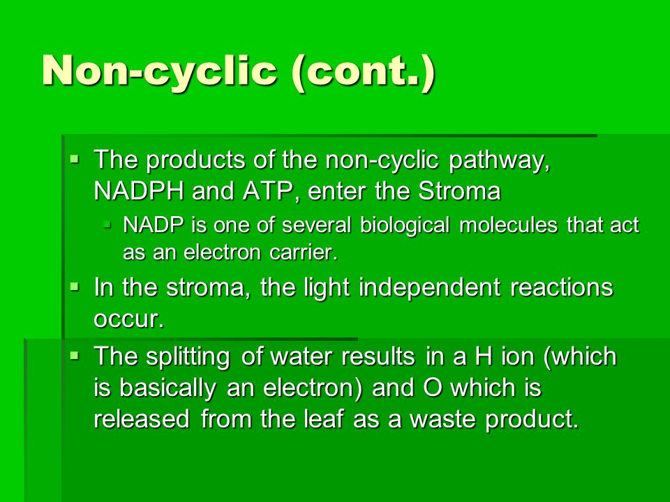 Non-cyclic (cont.) The products of the non-cyclic pathway, NADPH and ATP, enter the Stroma.
