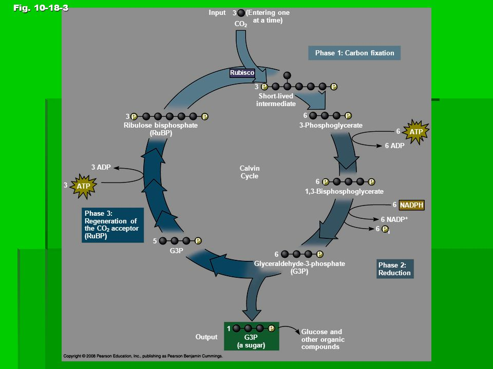 Fig. 10-18-3 Figure 10.18 The Calvin cycle Input 3 (Entering one