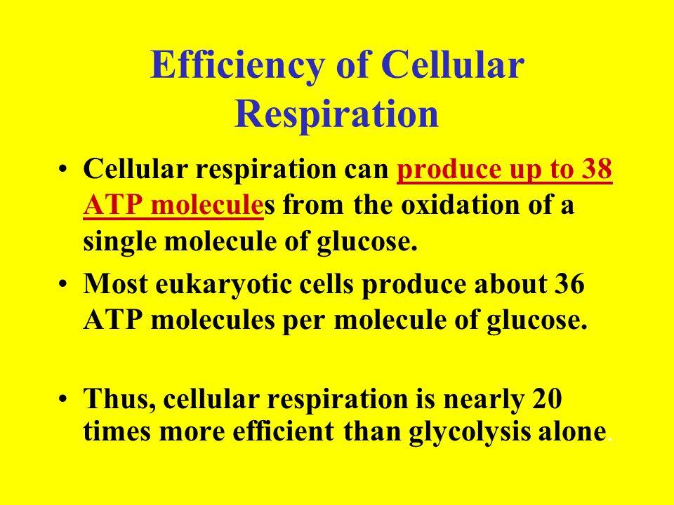 Efficiency of Cellular Respiration