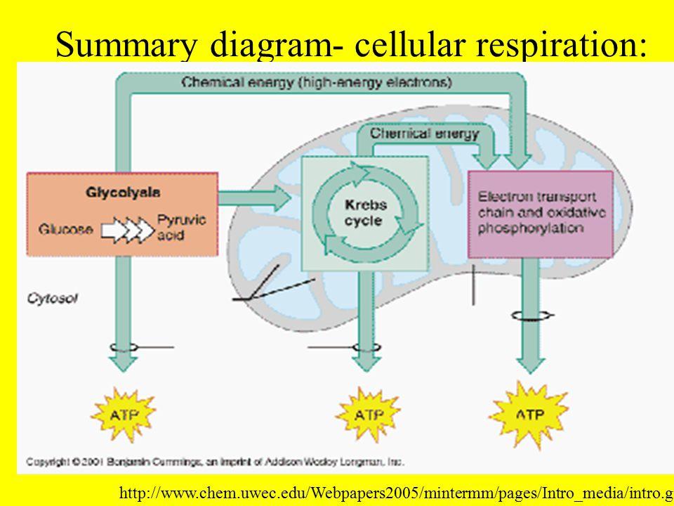 Summary diagram- cellular respiration: