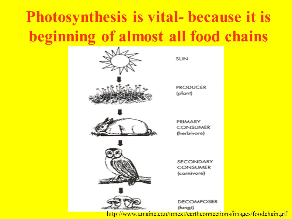 Photosynthesis is vital- because it is beginning of almost all food chains