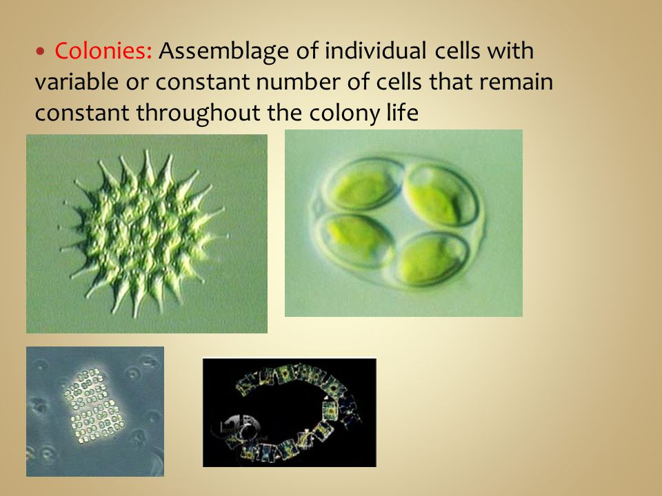 Colonies: Assemblage of individual cells with variable or constant number of cells that remain constant throughout the colony life