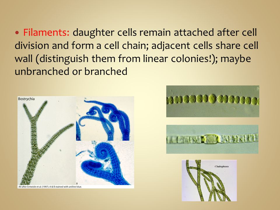 Filaments: daughter cells remain attached after cell division and form a cell chain; adjacent cells share cell wall (distinguish them from linear colonies!); maybe unbranched or branched