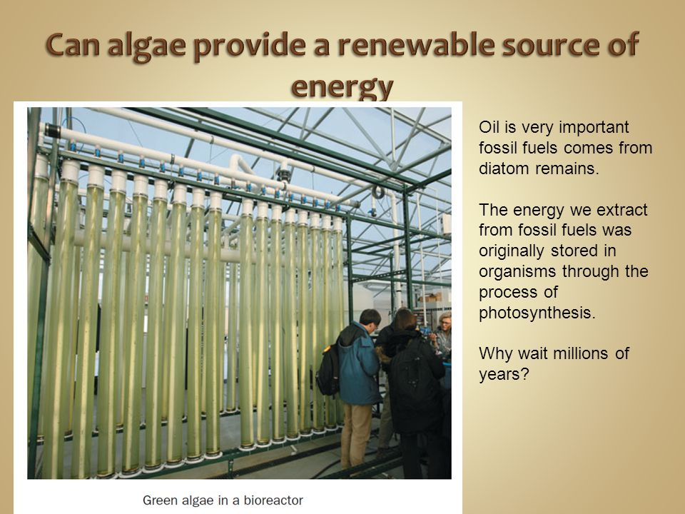 Can algae provide a renewable source of energy