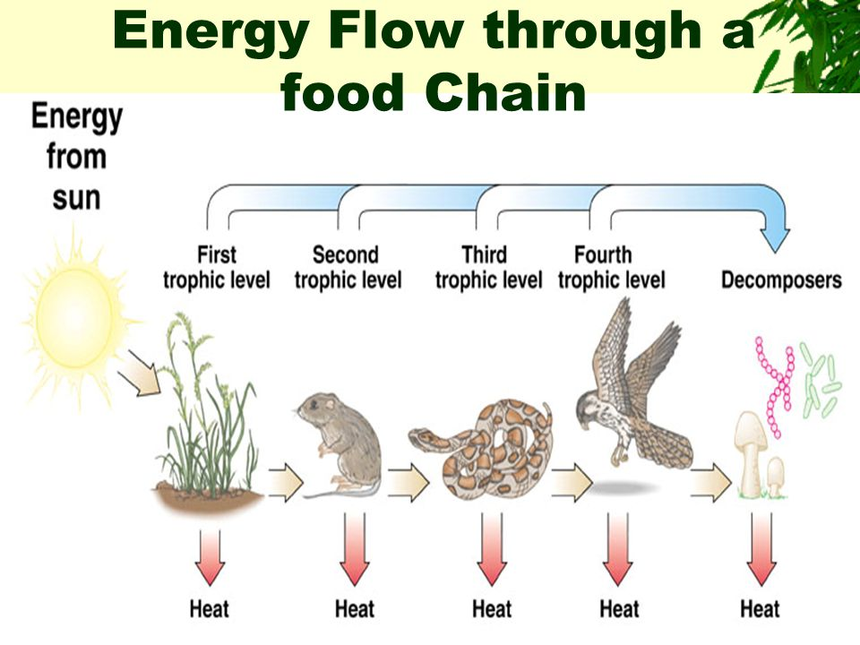 Energy Flow through a food Chain