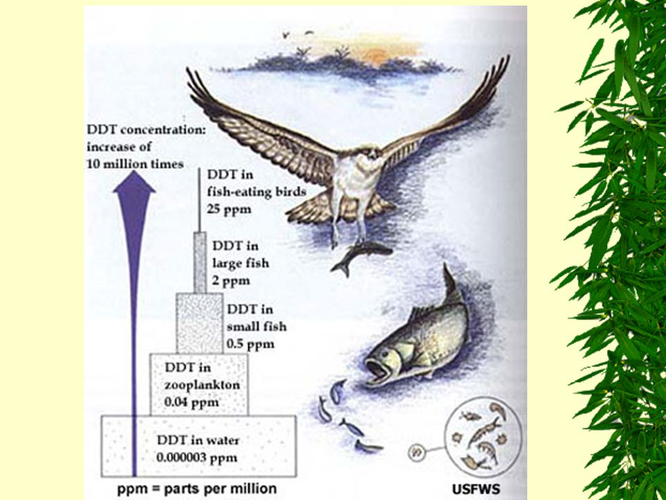 DDT in Food Webs