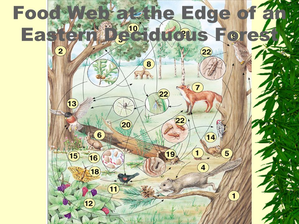 Food Web at the Edge of an Eastern Deciduous Forest