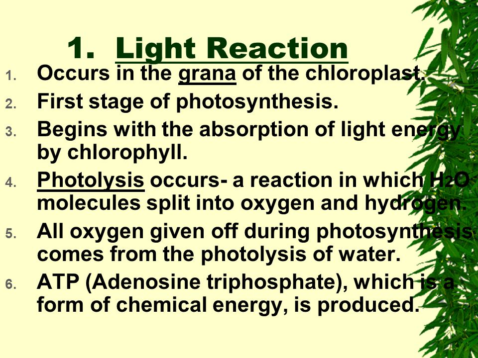 1. Light Reaction Occurs in the grana of the chloroplast.