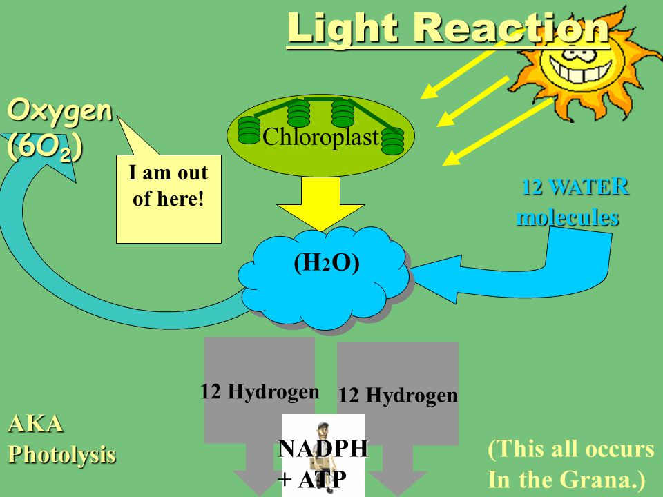 Light Reaction Oxygen (6O2) Chloroplast (H2O) AKA Photolysis NADPH