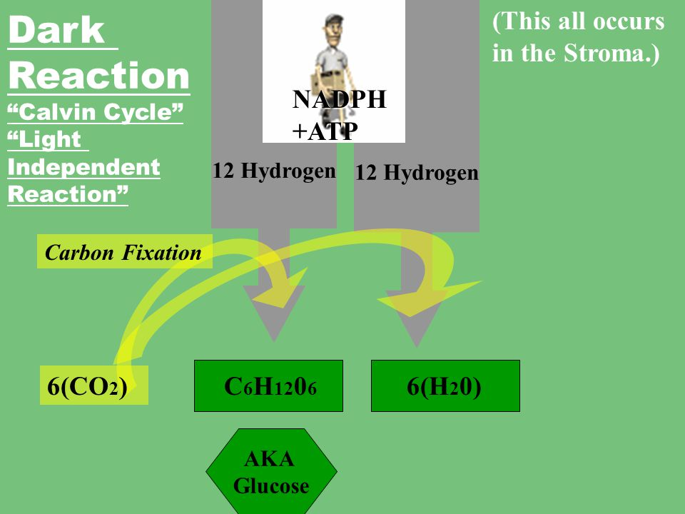 Dark Reaction (This all occurs in the Stroma.) NADPH +ATP 6(CO2)