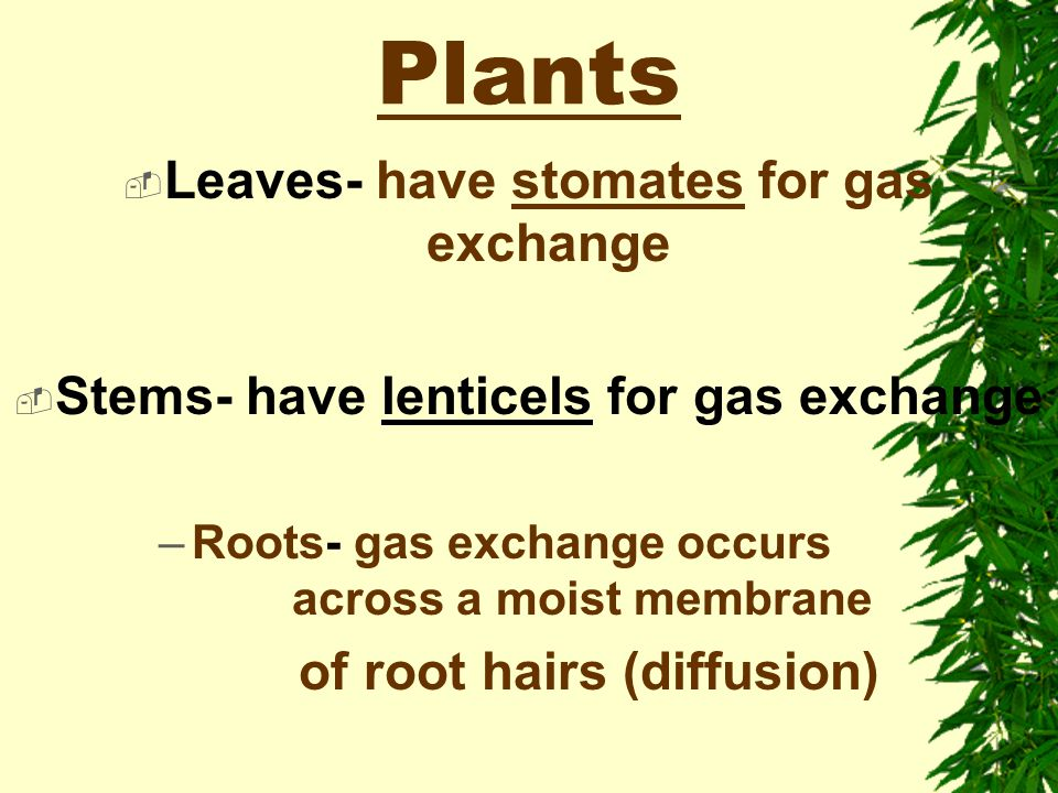 Plants Leaves- have stomates for gas exchange