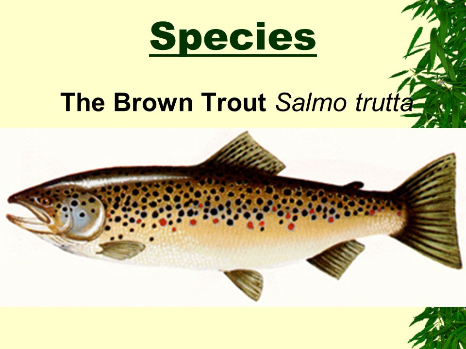 The Brown Trout Salmo trutta