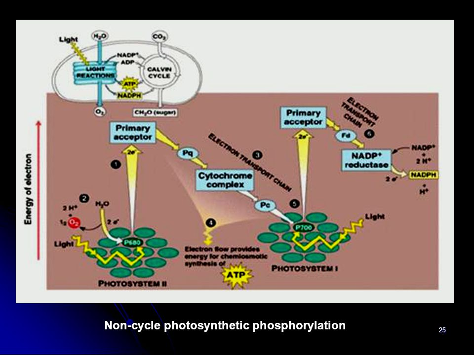 Non-cycle photosynthetic phosphorylation