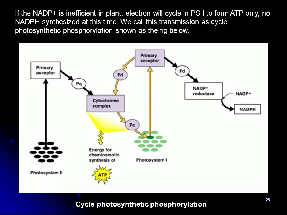 Cycle photosynthetic phosphorylation