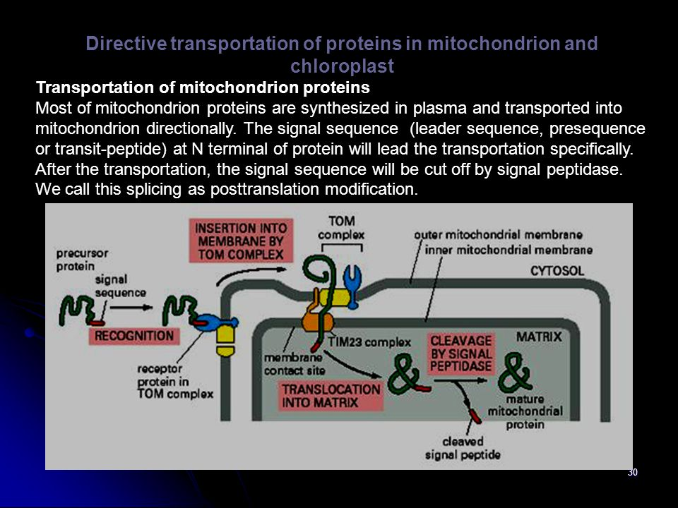 Directive transportation of proteins in mitochondrion and chloroplast