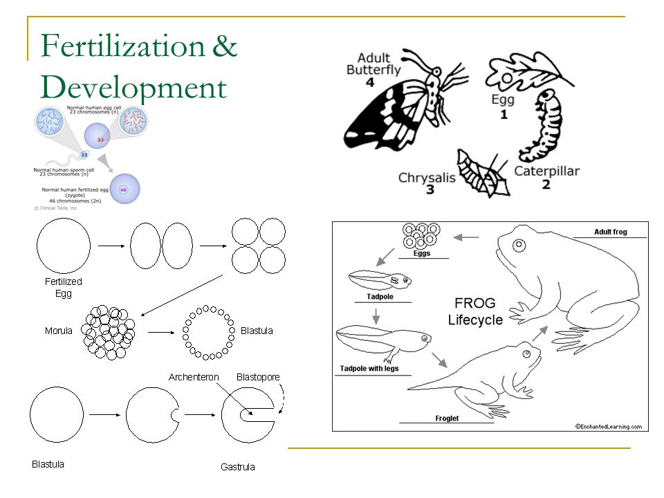 Fertilization & Development