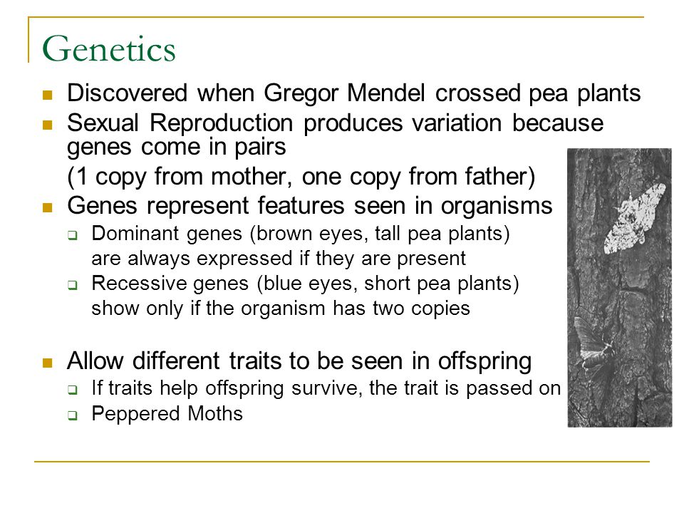 Genetics Discovered when Gregor Mendel crossed pea plants