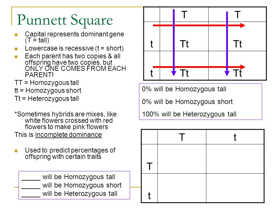 Punnett Square T t Tt T t 0% will be Homozygous tall