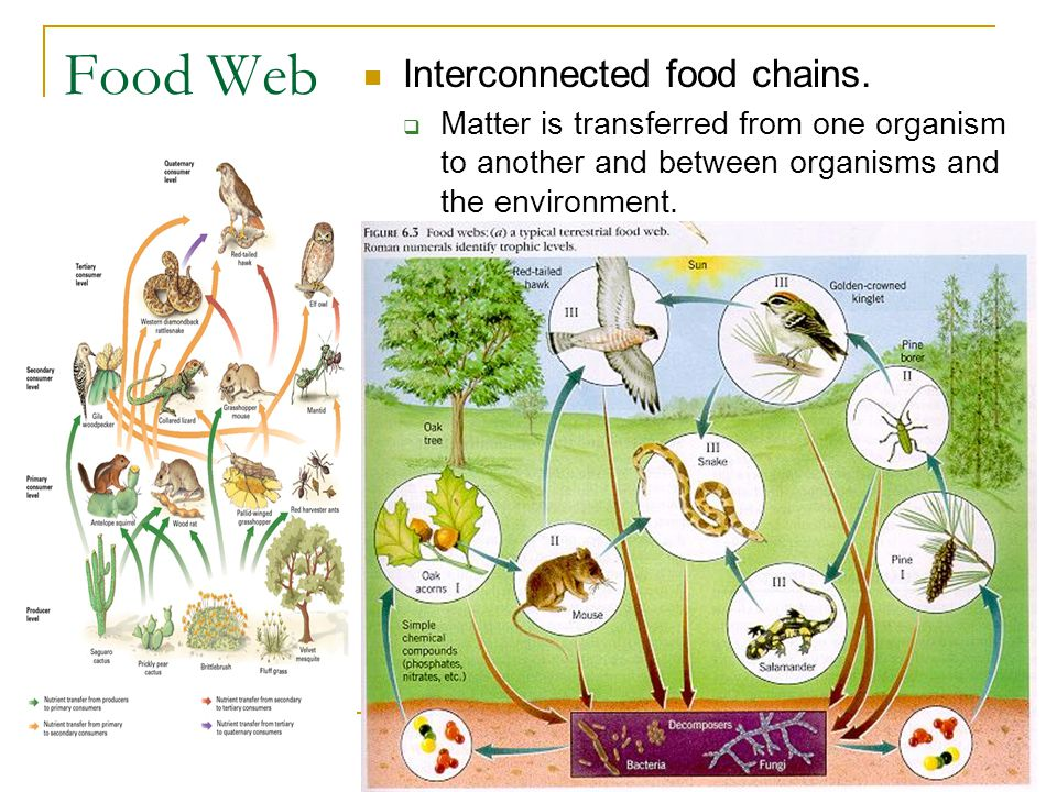 Food Web Interconnected food chains.