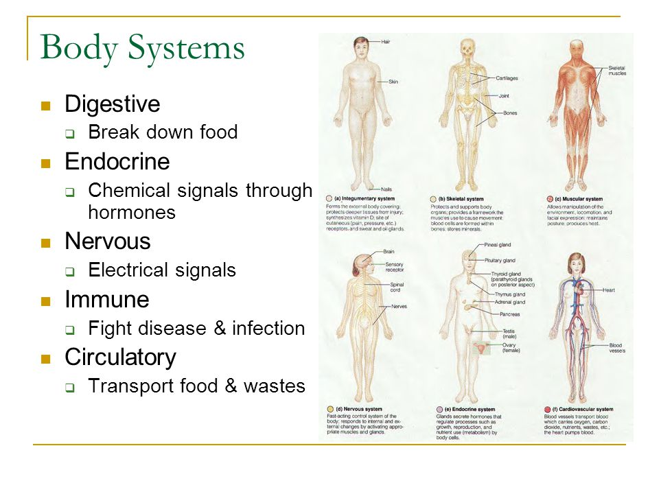 Body Systems Digestive Endocrine Nervous Immune Circulatory