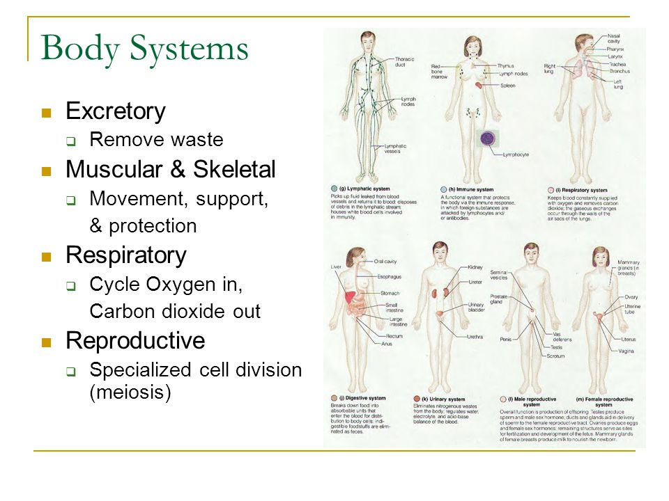 Body Systems Excretory Muscular & Skeletal Respiratory Reproductive
