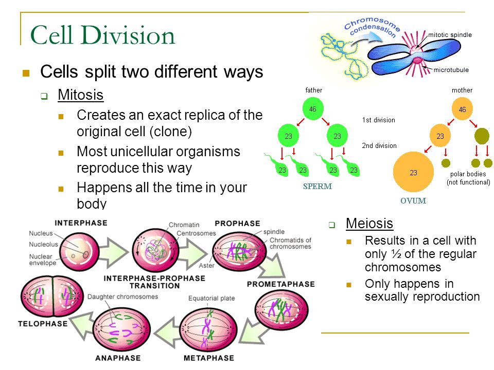 Cell Division Cells split two different ways Mitosis