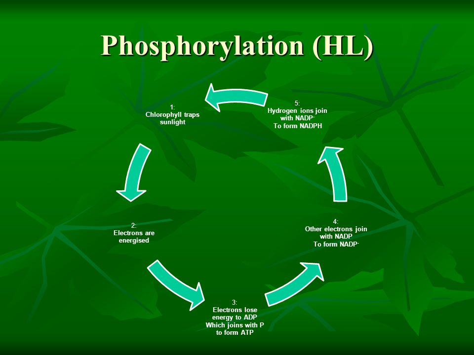 Phosphorylation (HL) 5: 1: Hydrogen ions join with NADP-
