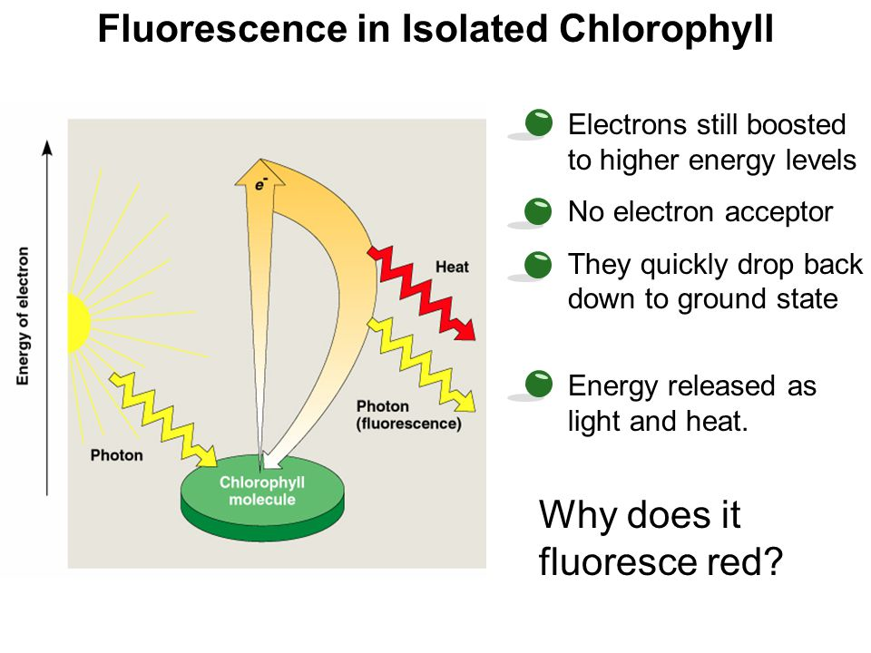 Fluorescence in Isolated Chlorophyll