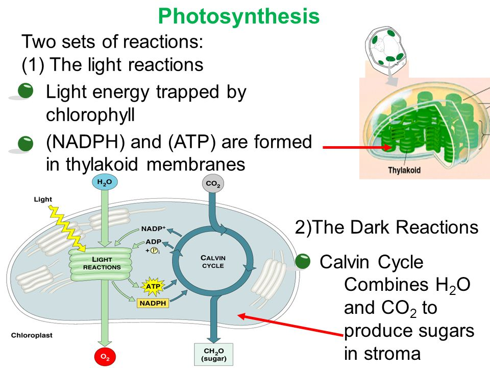 Photosynthesis Two sets of reactions: (1) The light reactions