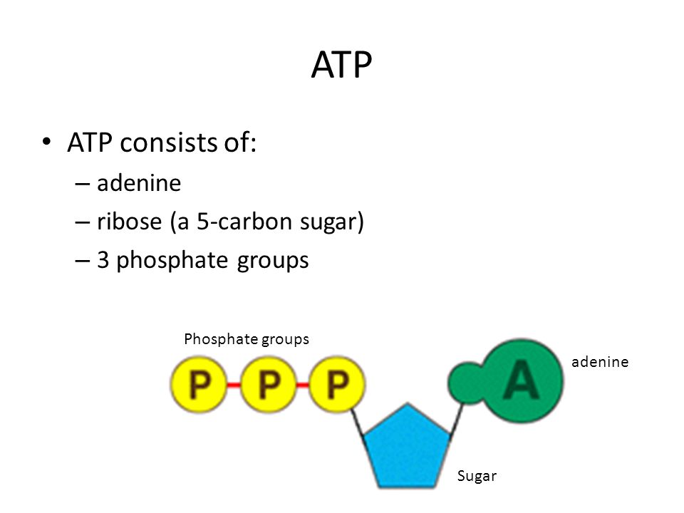 ATP ATP consists of: adenine ribose (a 5-carbon sugar)
