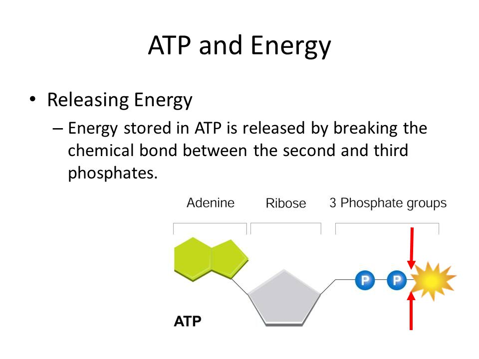 ATP and Energy Releasing Energy