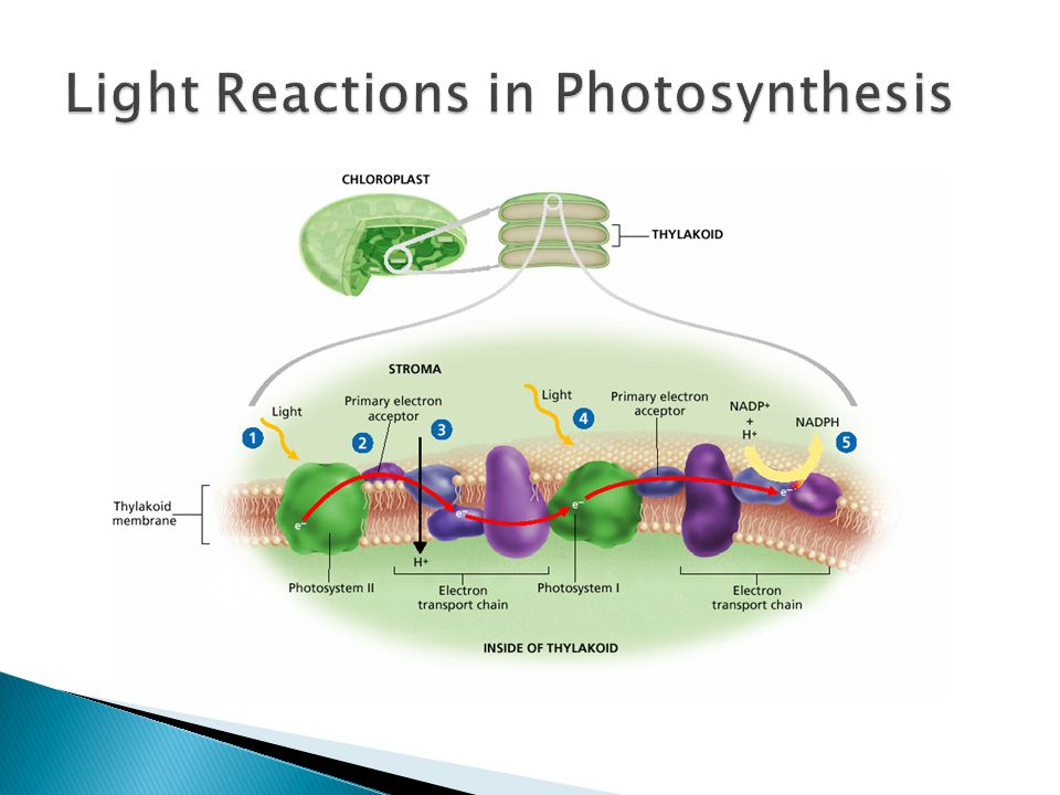 light reaction of photosynthesis Photosynthesis photosynthesis is the process of photosynthesis is broken up into two main groups of reactions: the light reactions which require light energy to.